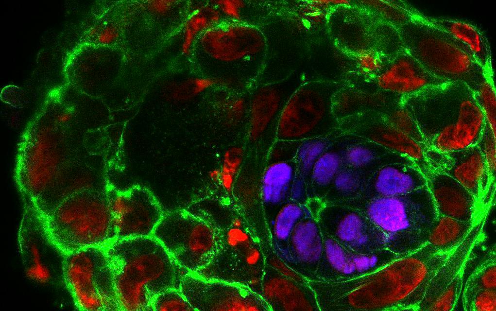 Embrioni-chimera: nessun freno alla ricerca!